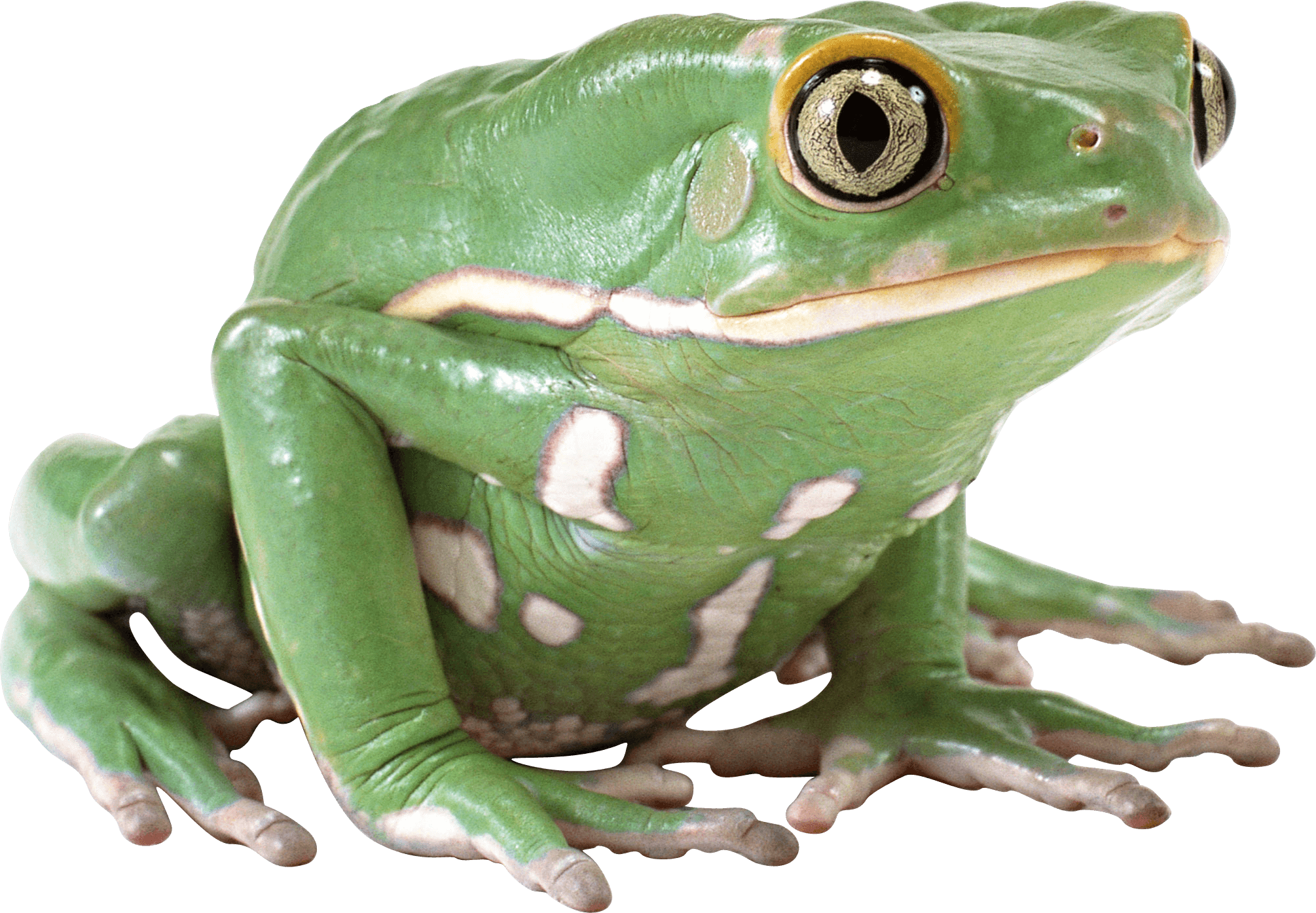 Frog Png - Download · animals · frogs