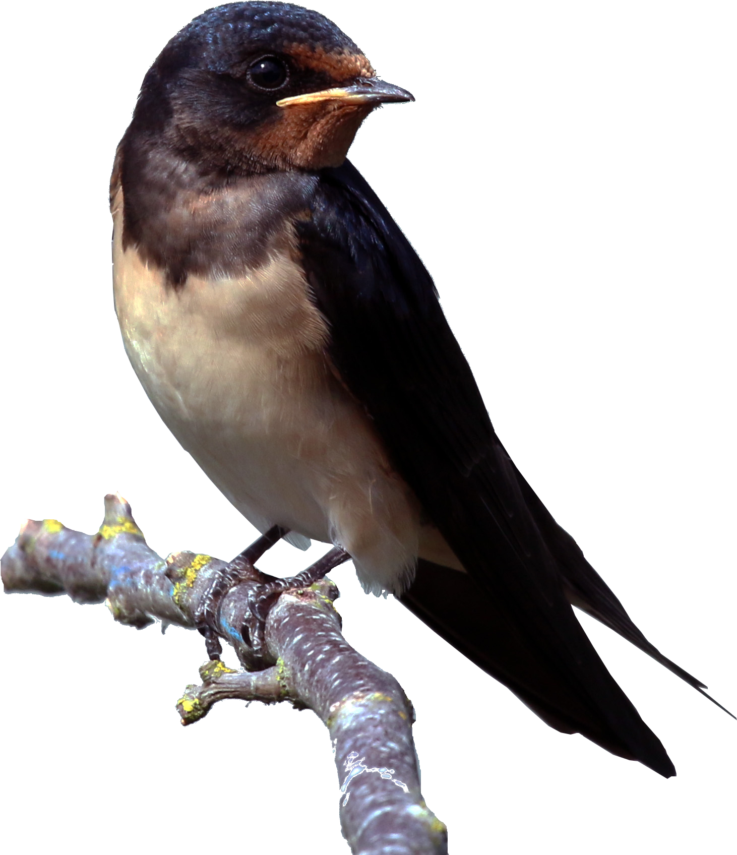Barn Swallow Png - Download Barn Swallow PNG Clipart - Free Transparent PNG Images ...