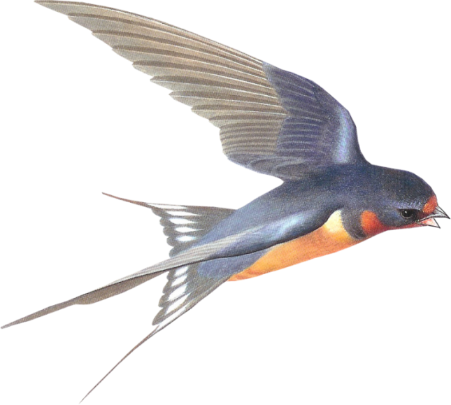 Swallow Png - Download Barn Swallow PNG Picture - Free Transparent PNG Images ...