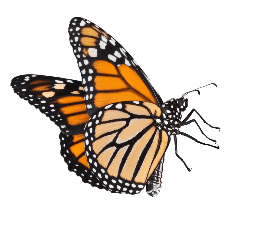 A Butterfly Png & Free A Butterfly png Transparent Images #9566 - PNGio