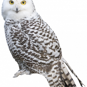 Png Images Of Owls - Download for free Owls PNG Icon