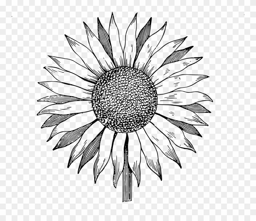 Sunflower Drawing Png - Download Free Clip Art Sunflower Image - Sunflower Line Drawing ...