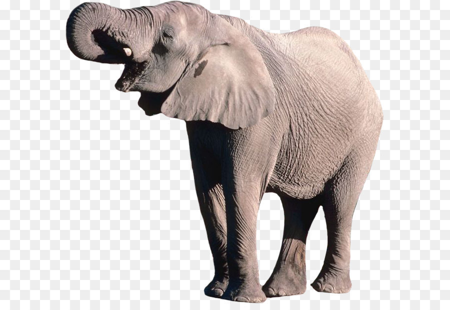 Borneo Elephant Png - Download Free png African bush elephant Borneo elephant - Elephant ...
