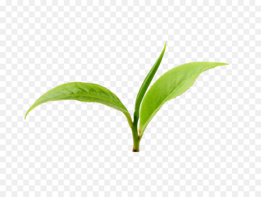 Download Free Png Green Tea Leaf Png Dow 1159871 Png Images Pngio