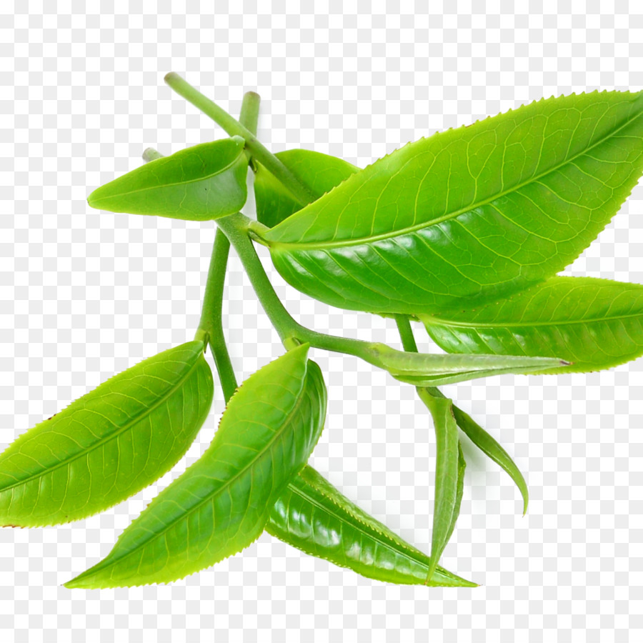 Download Free Png Green Tea Tea Tree Oil 1994737 Png Images Pngio