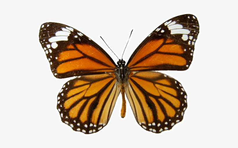 Butterfly Transparent Background - Download Free png Monarch Butterfly Transparent Background ...