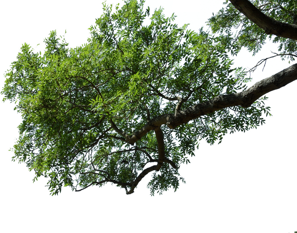 Download Free Png Tree Branch Png (98+ I #1169692 - PNG ...