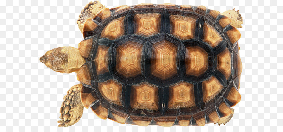 Tortoise Shell Png - Download Free png Turtle shell Reptile Carapace Chinese softshell ...