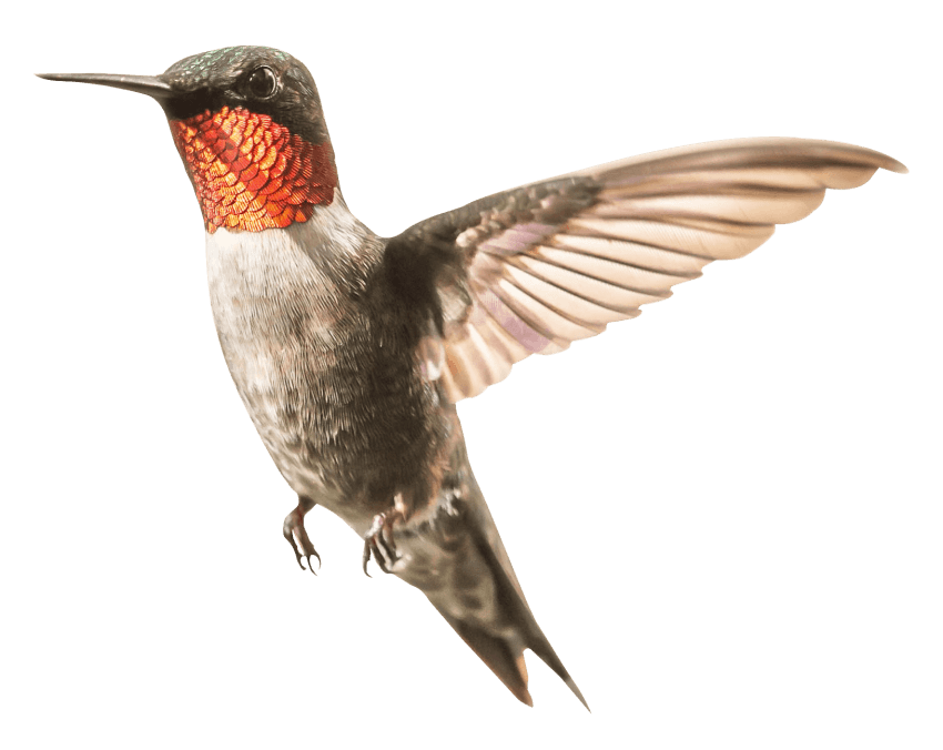 Png Hummingbird - Download Hummingbird png images background | TOPpng