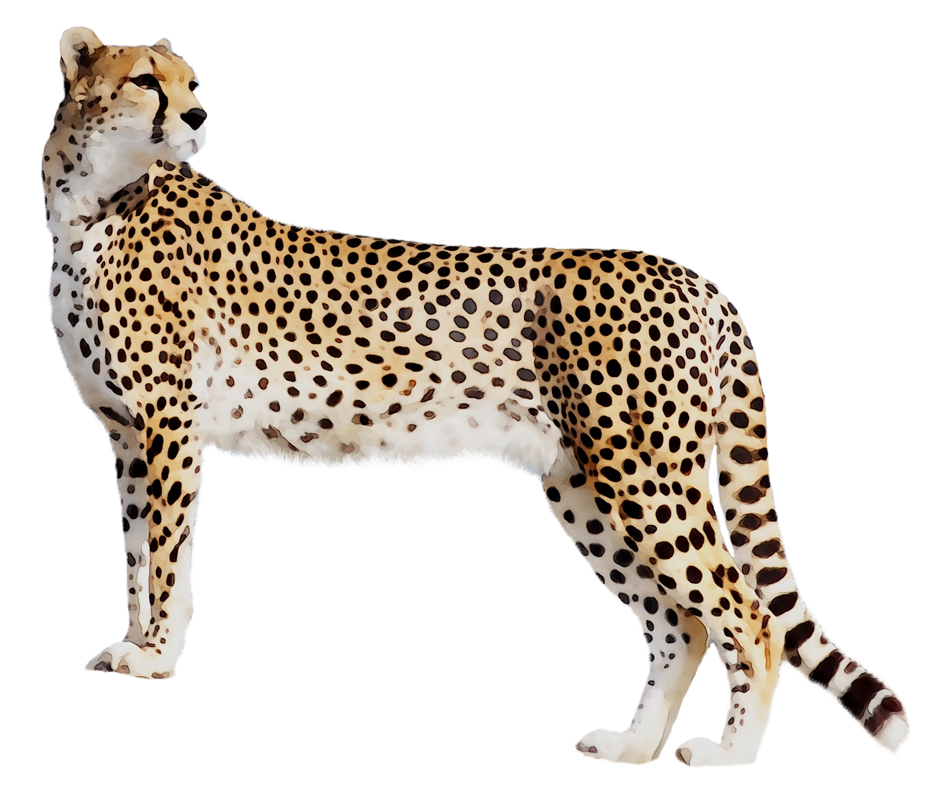 Rainbow Cheetah Png - Download Panther Leopard Cat Tiger Black Cheetah Clipart PNG Free ...