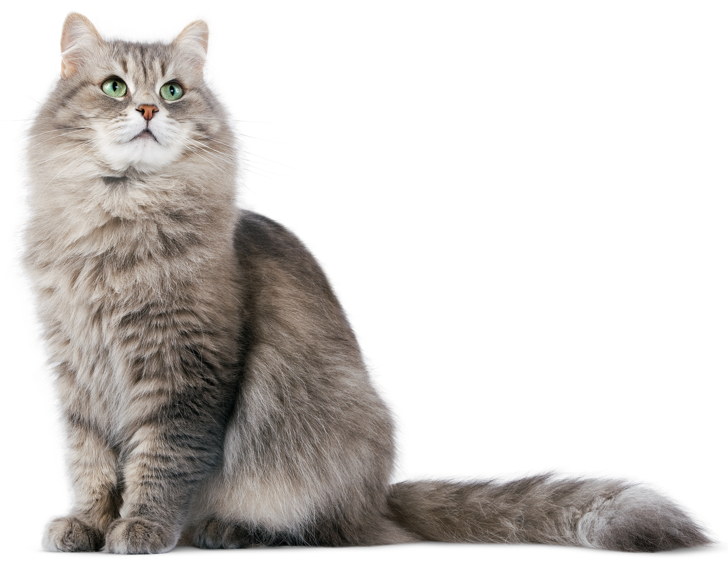 Png Cat - Download Siberian Cat PNG - Free Transparent PNG Images, Icons and ...