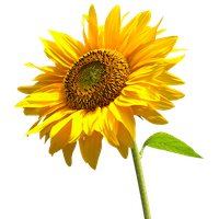 Sunflower Pngs - Download Sunflowers Free PNG photo images and clipart   FreePNGImg