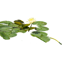 Water Lilies Png - Download Water Lily Free PNG photo images and clipart | FreePNGImg
