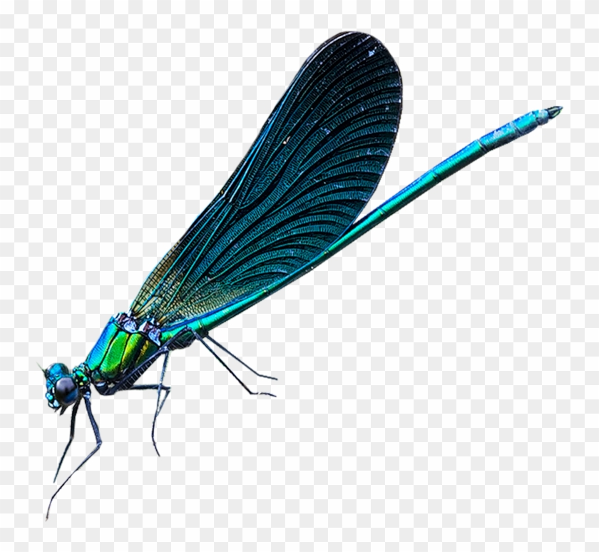 Damselfly Png - Dragonfly Net-winged Insects Damselflies Insect Wing - Damselfly ...