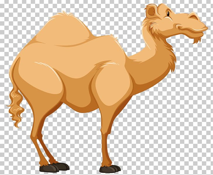 Cartoon Camel Png - Dromedary Cartoon Tengger Desert PNG, Clipart, Animal, Animals ...