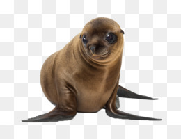 Eared Seal Png - Eared Seal PNG and Eared Seal Transparent Clipart Free Download ...