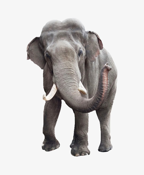 Png Elephant Free Elephant Png Transparent Images 2529 Pngio 16,000+ vectors, stock photos & psd files. elephant png transparent images 2529