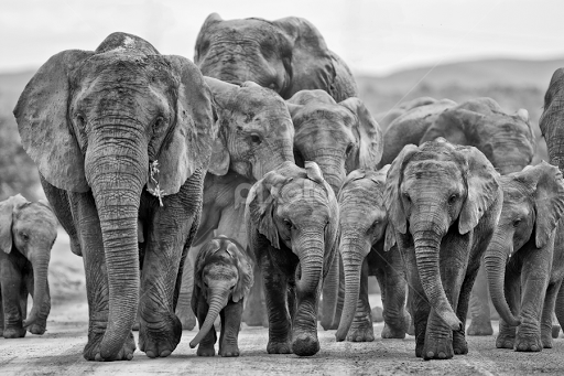 Group Of Elephants Png - Elephant Family Group by Michael Price - Black & White Animals ( group of  elephants,