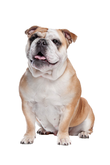 Old English Bulldog Png - English Bulldog Png & Free English Bulldog.png Transparent Images ...