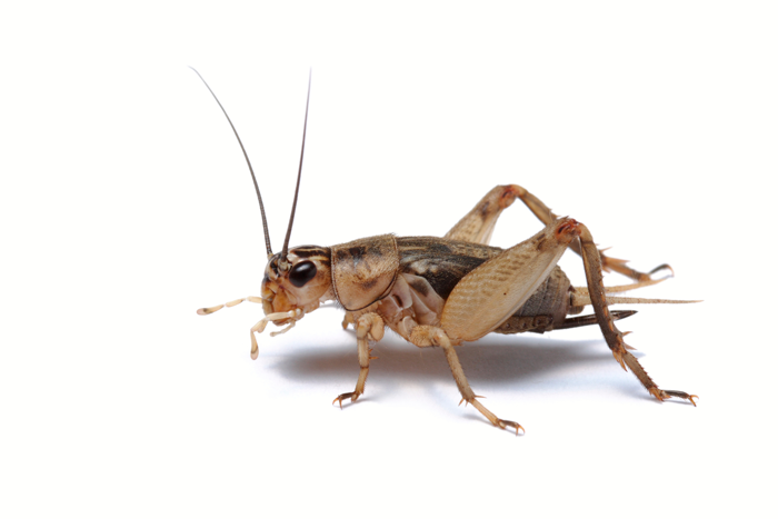 Cricket Insect Png - Entomo Farms, The future of foods, Sustainable, Food, Cricket Powder, Powder