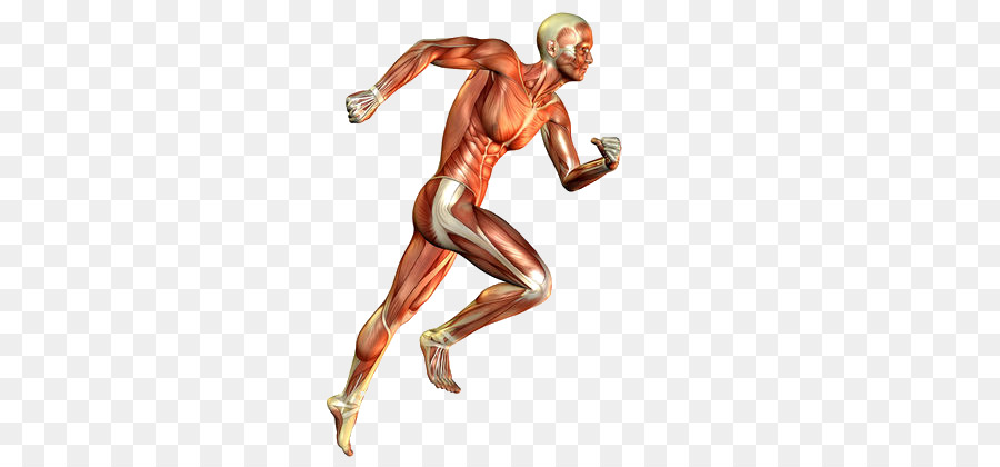 Leg Muscle Png - Exercise Cartoon png download - 420*420 - Free Transparent Muscle ...