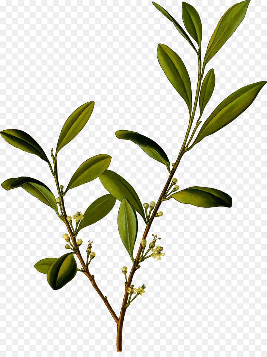 Erythroxylum Png - Family Tree Background png download - 1825*2400 - Free Transparent ...