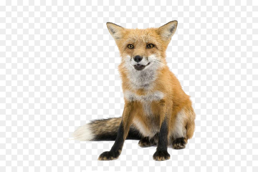 Red Fox Png - fennec fox png download - 600*600 - Free Transparent RED Fox png ...