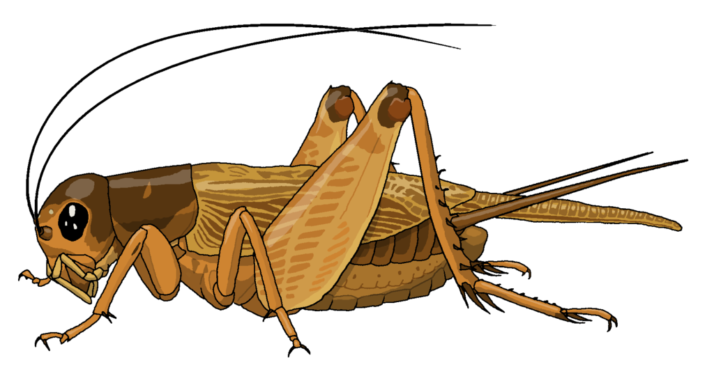Cricket Insect Png - Field cricket by MisterBug PlusPng.com - PNG Cricket Bug