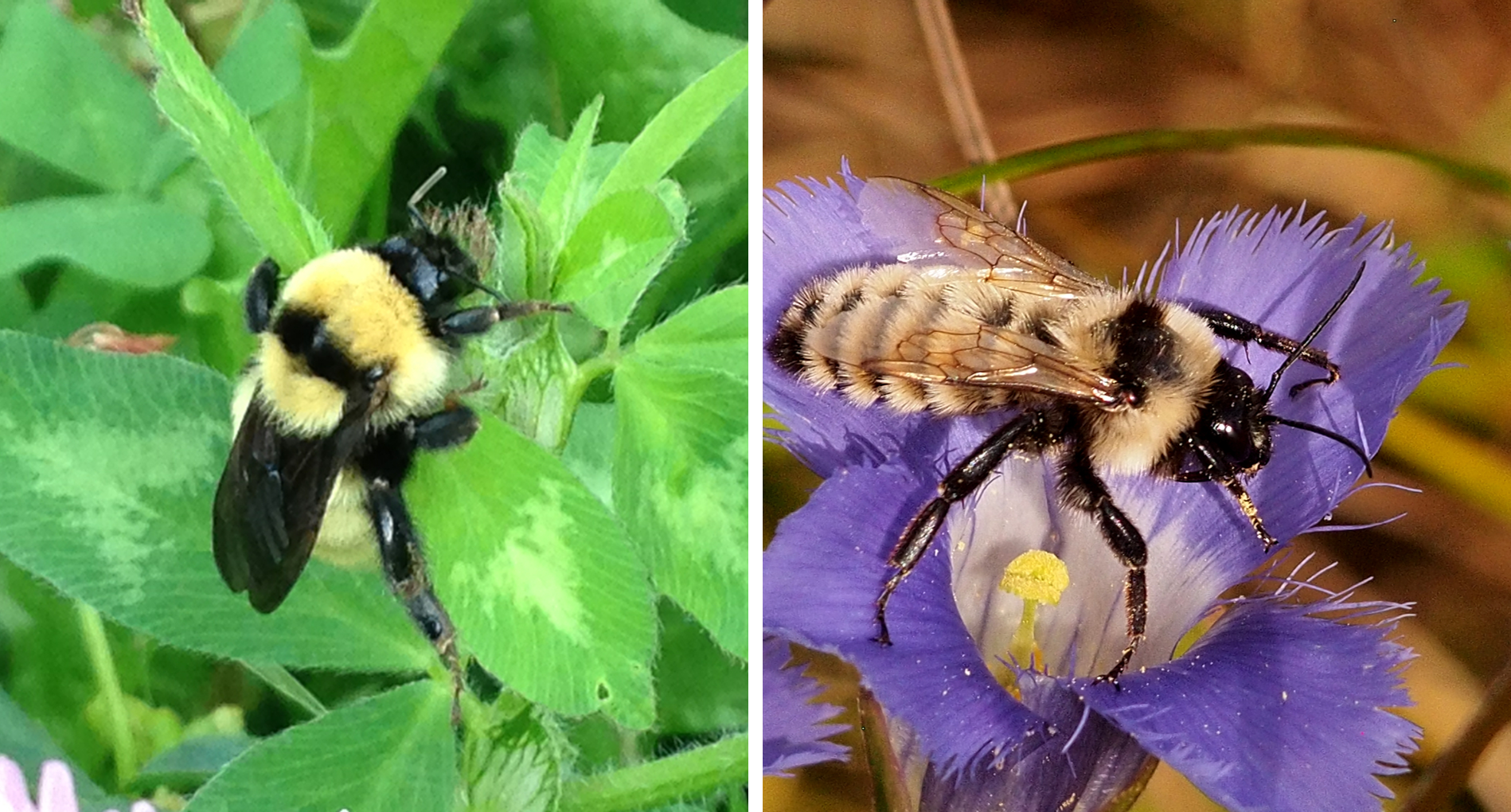 Golden Northern Bumble Bee Png - Field Guide to the Bumble Bees of VT | Vermont Atlas of Life