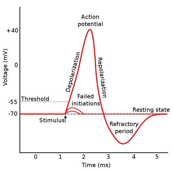 Action Potential Png - File:Action potential.svg - Wikimedia Commons