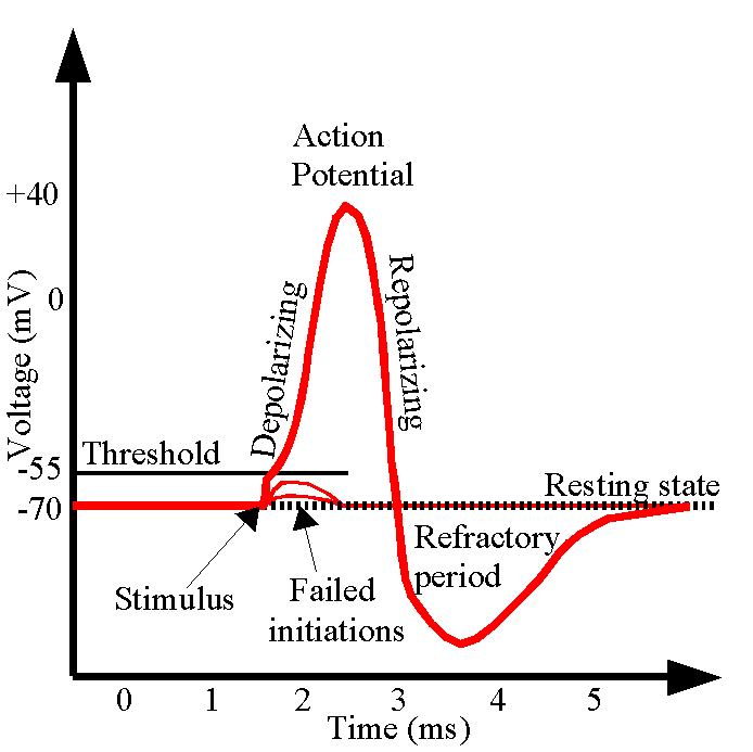 Action Potential Png - File:ActionPotential.png - Wikimedia Commons