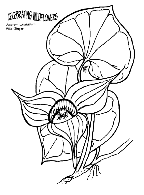 Coloring Pictures Png - File:Asarum caudatum coloring page.png - Wikimedia Commons