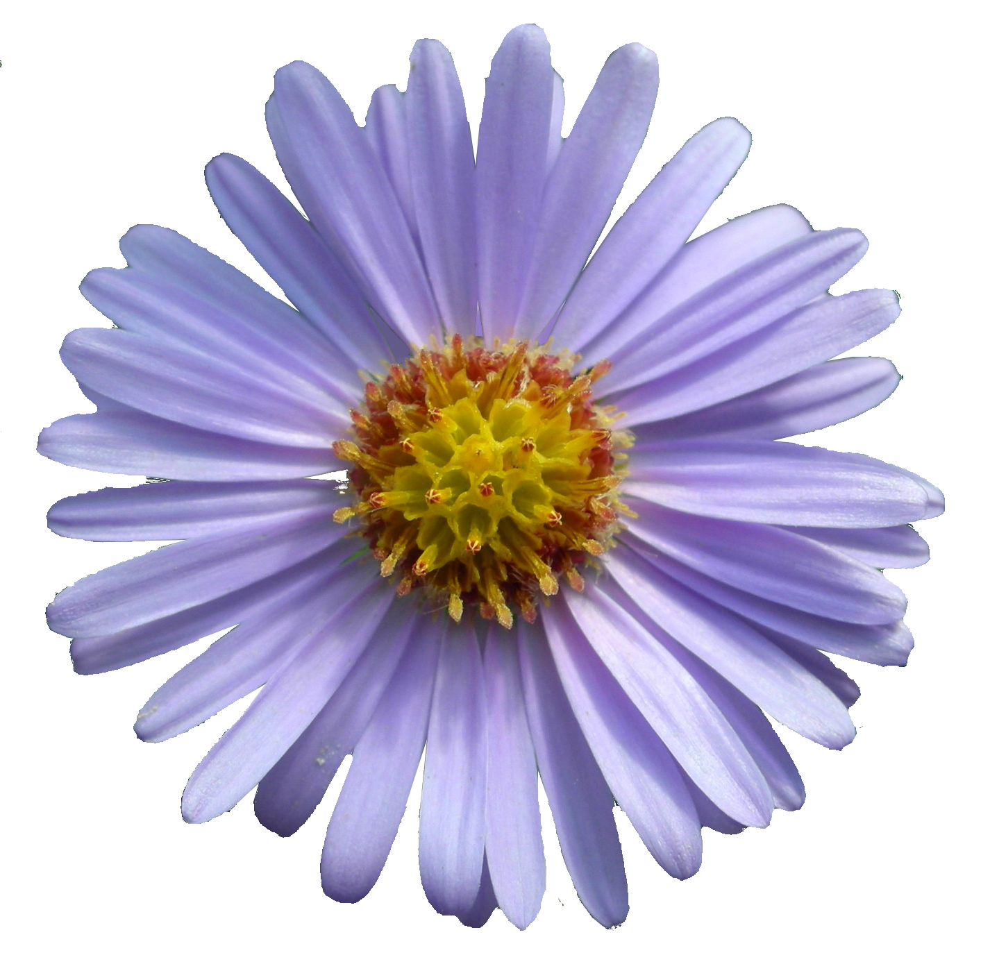 Alpine Aster Png - File:Aster Tataricus.png