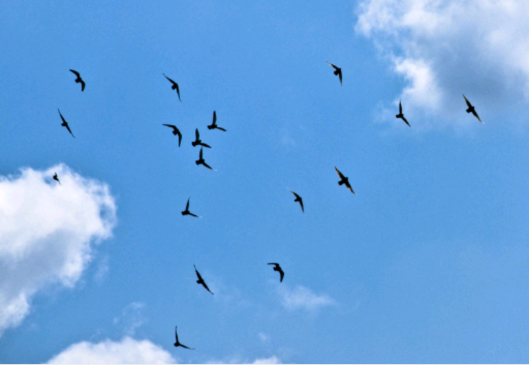Sky Bird Png - File:Birds in the sky picture.png - Wikimedia Commons