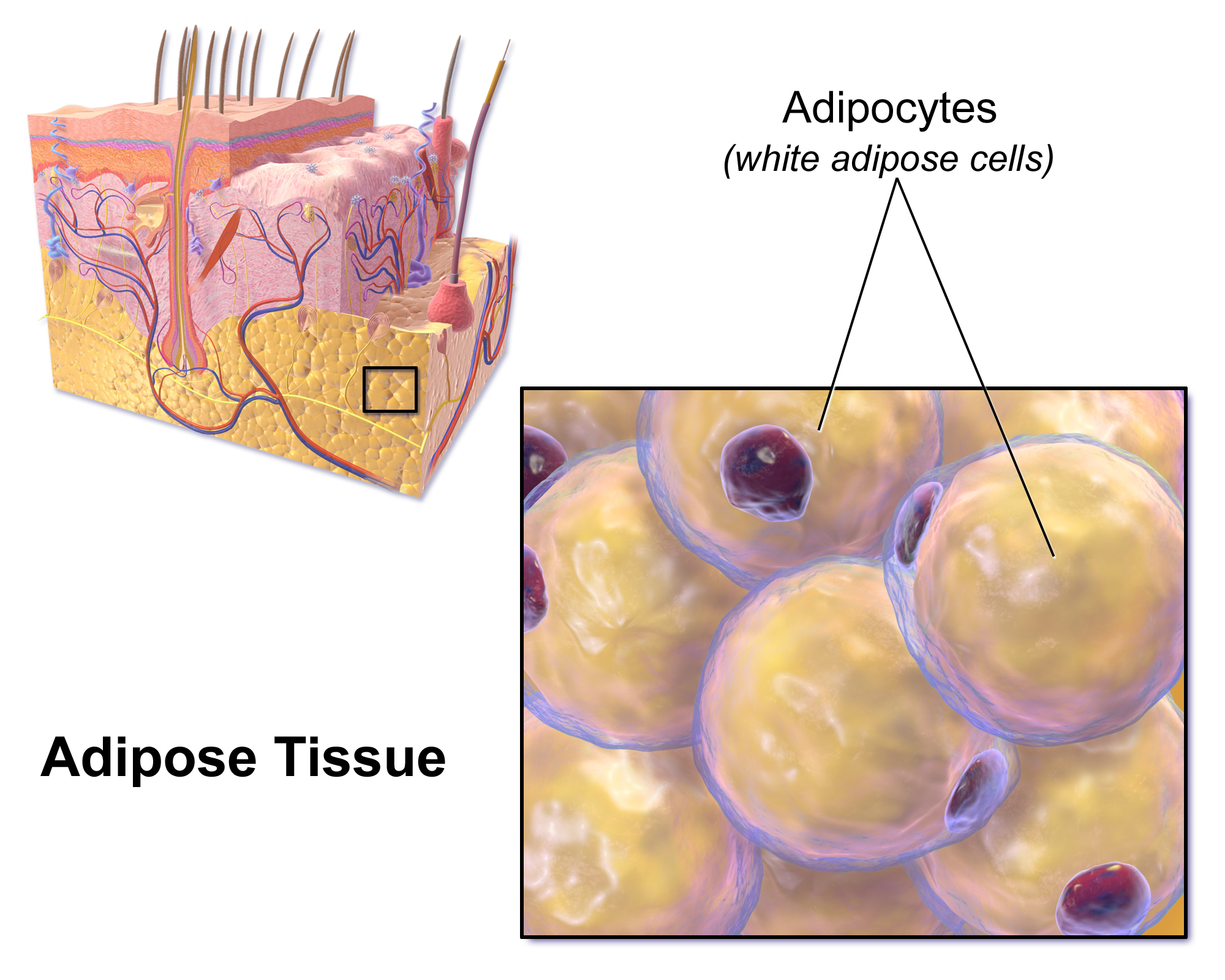 Adipose Tissue Png - File:Blausen 0012 AdiposeTissue.png - Wikimedia Commons