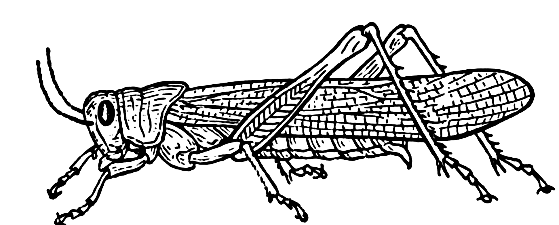 Clipart Black And White Stock Png - Cartoon Grasshopper Transparent Png -  Full Size Clipart (#317898) - PinClipart