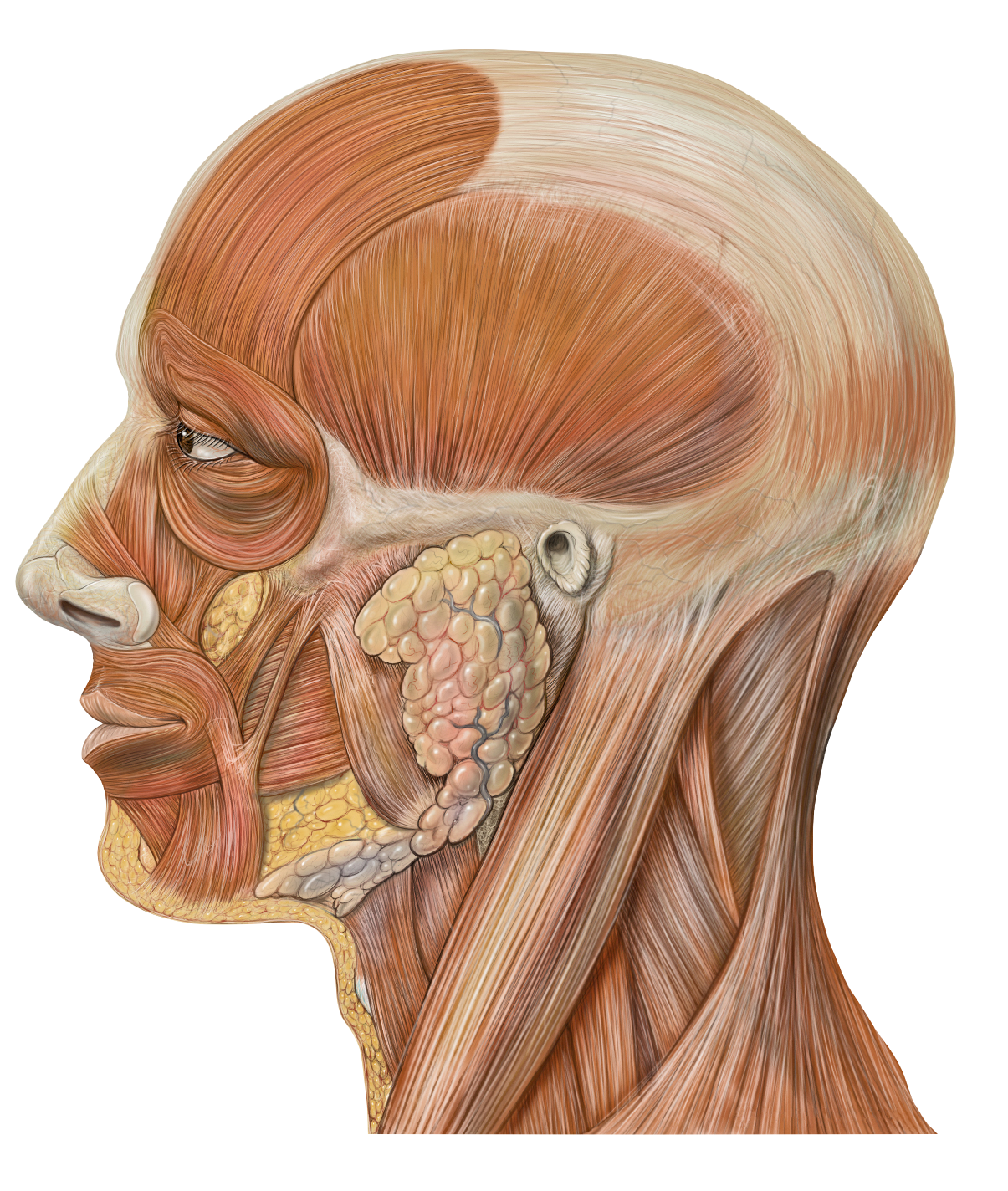 Anatomy Png - File:Lateral head anatomy.png - Wikimedia Commons