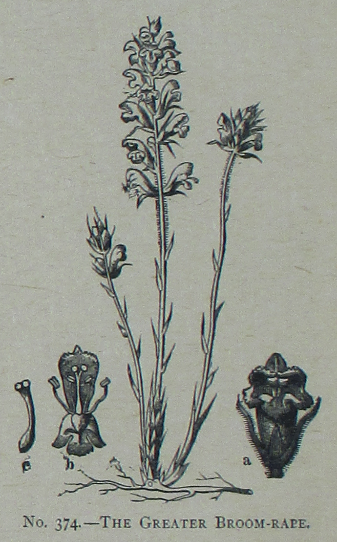Broomrape Png - File:Picture Natural History - No 374 - The Greater Broom-rape.png ...