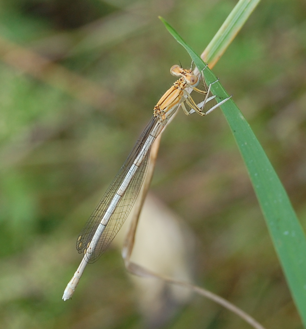 Libelle Png - File:Platycnemis pennipes Libelle.png - Wikimedia Commons