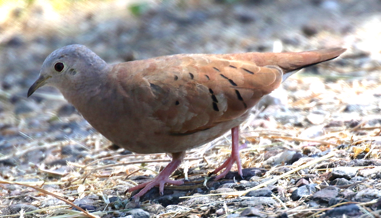 Ruddy Ground Dove Png - File:Ruddy Ground-Dove.png - Wikimedia Commons