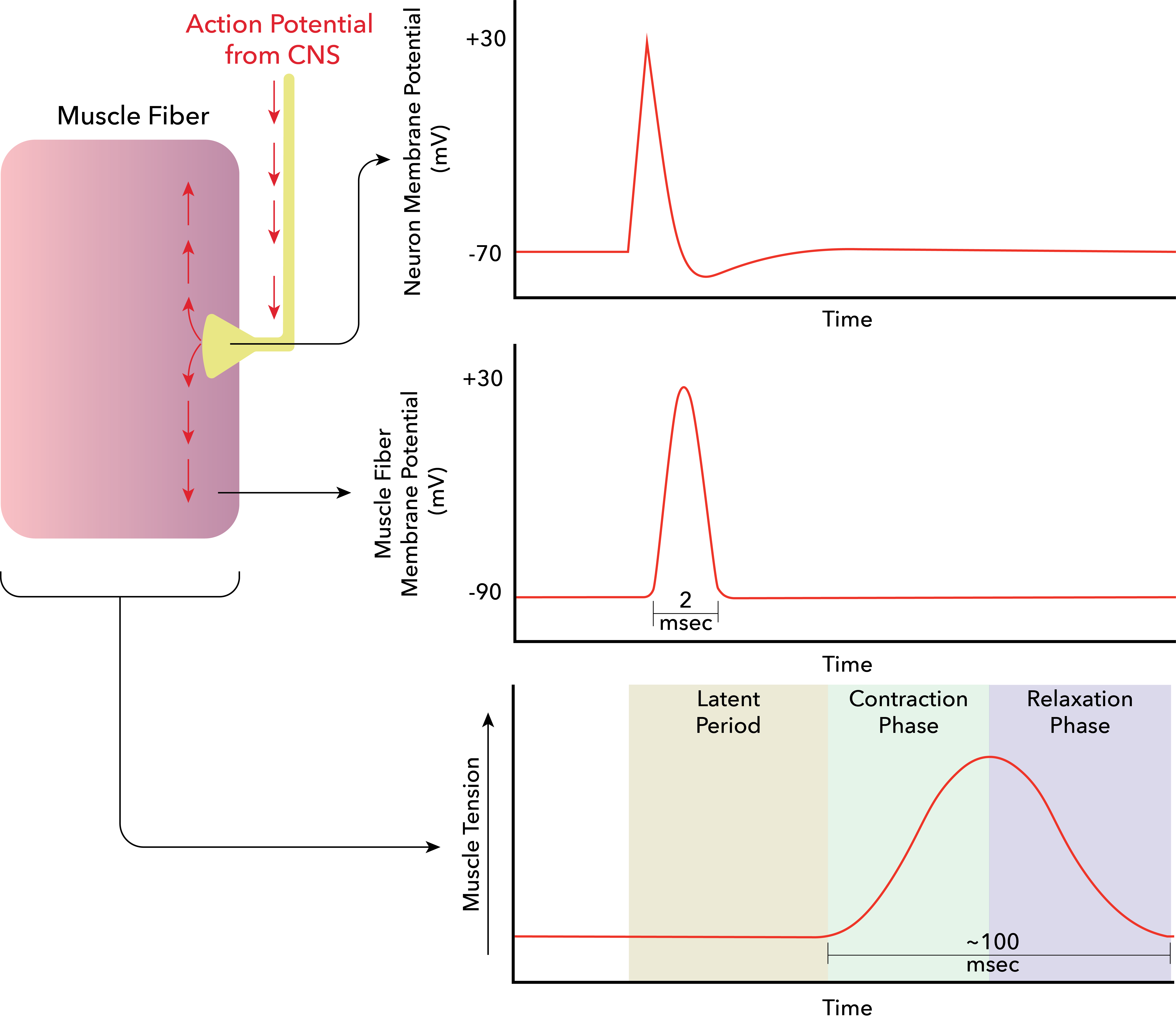 Action Potential Png - File:The latent period between the muscle action potential and ...