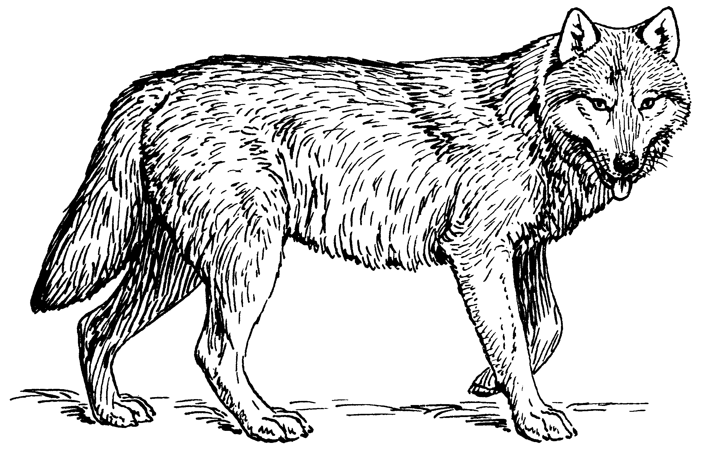 Wolf Drawings Png Free Wolf Drawings Png Transparent Images 86119 Pngio