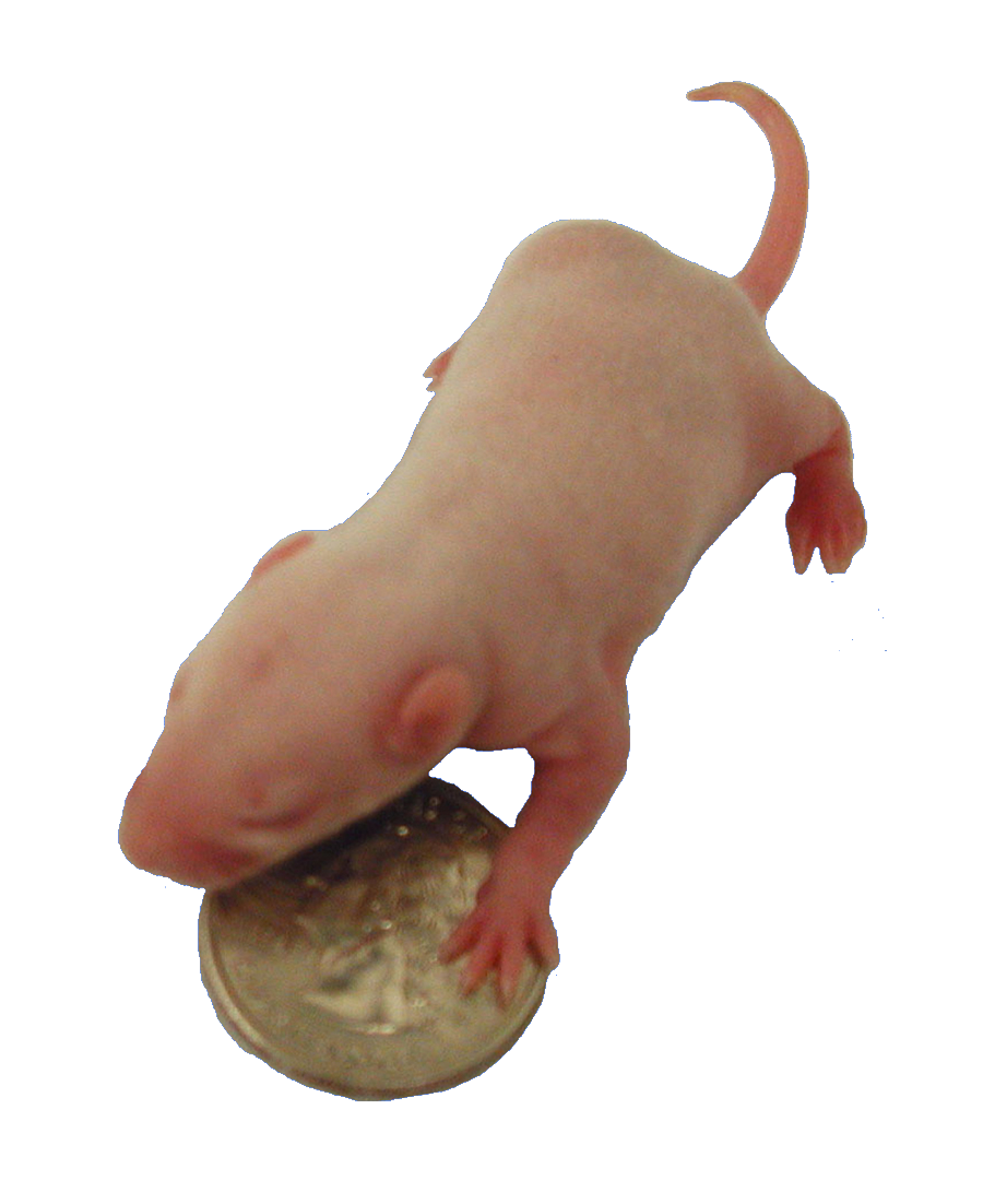 Lab Rats Png - File:Young lab rat.png - Wikimedia Commons