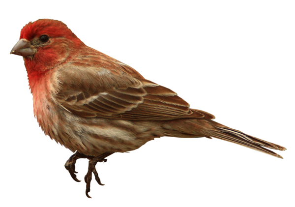 House Finch Png - Finch Png & Free Finch.png Transparent Images #70277 - PNGio