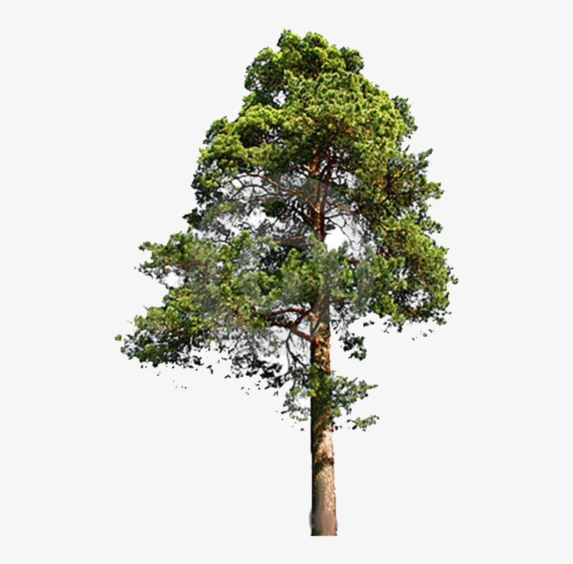 White Pine Png - Fir-tree Png File - Eastern White Pine Png - Free Transparent PNG ...