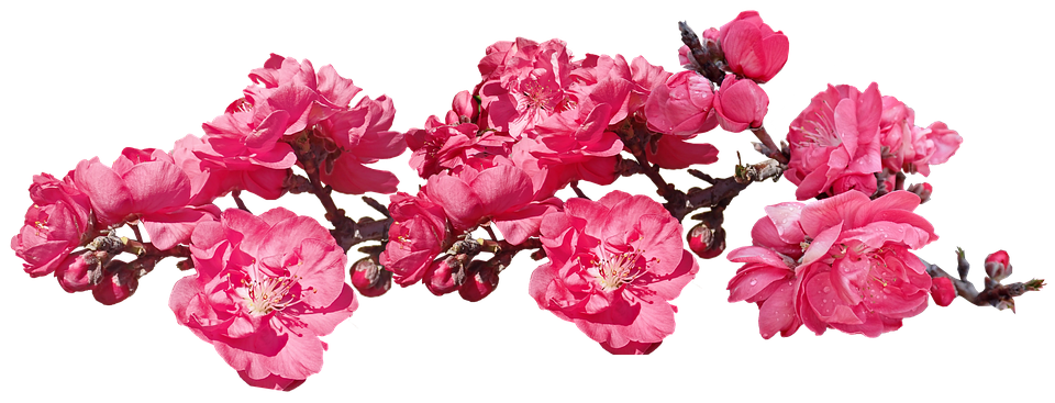 Flowering Peach Trees Png - Flowers Pink Blossom - Free photo on Pixabay