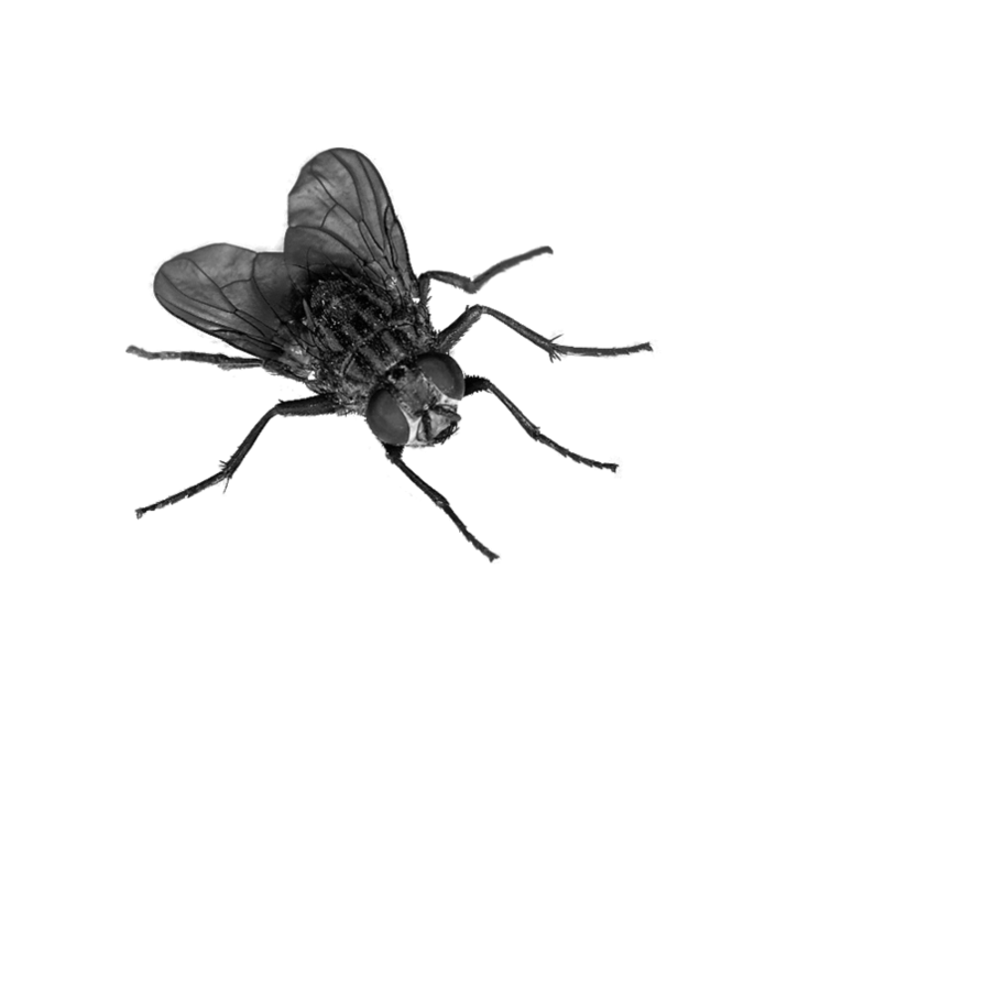 Flying Bug Png - fly PNG image