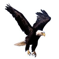 Picture Of Eagle Png - Flying Eagle Png Image Download PNG Image