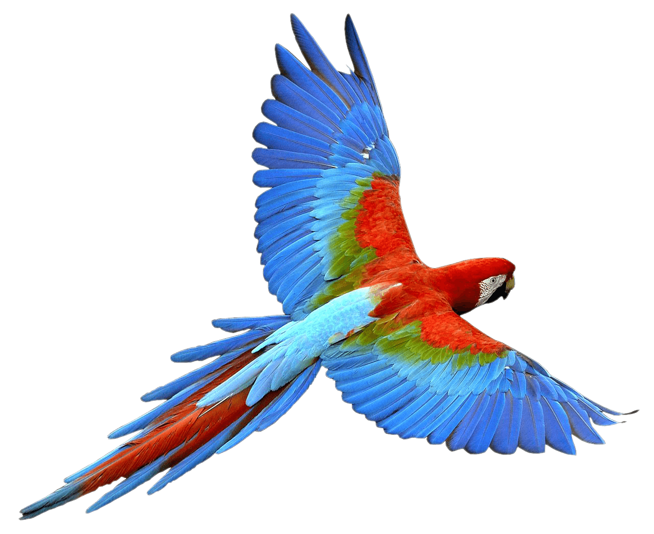 Parrots Png - Flying Parrot Red Blue