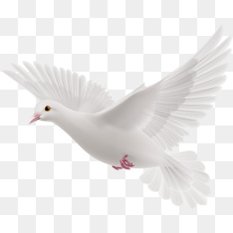 Flying Pigeons, White Feathers, Fly, Bir #34748 - PNG Images